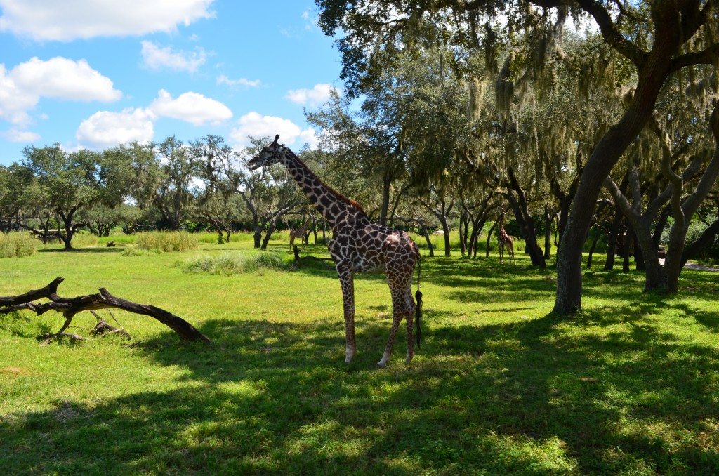 Giraffe on Kilimanjaro Safaris